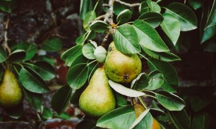 Of Pear Trees and Cemeteries